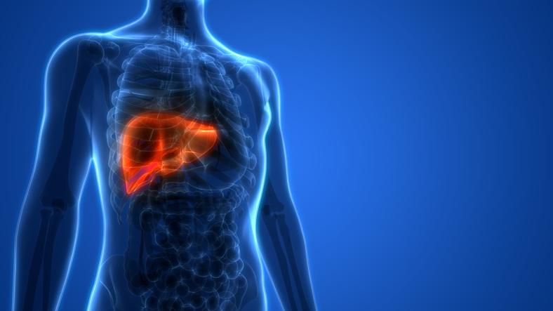 Anatomie der menschlichen Leber